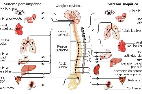 El sistema nervioso autónomo y la variabilidad de la frecuencia cardíaca