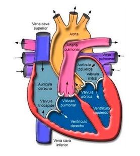 Cual es el ritmo cardiaco normal en mujeres
