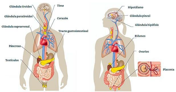 Que son las Hormonas y que función cumplen en el deporte?