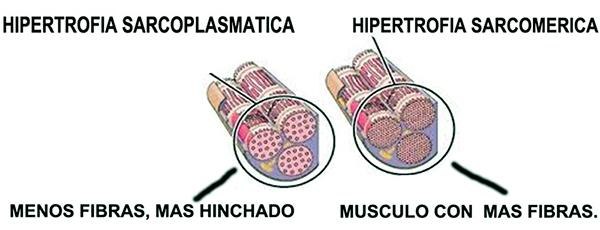 Hipertrofia sarcoplasmatica vs hipertrofia sarcomerica