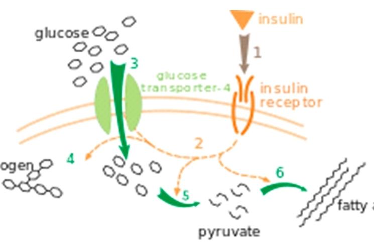 unión de la insulina con su receptor