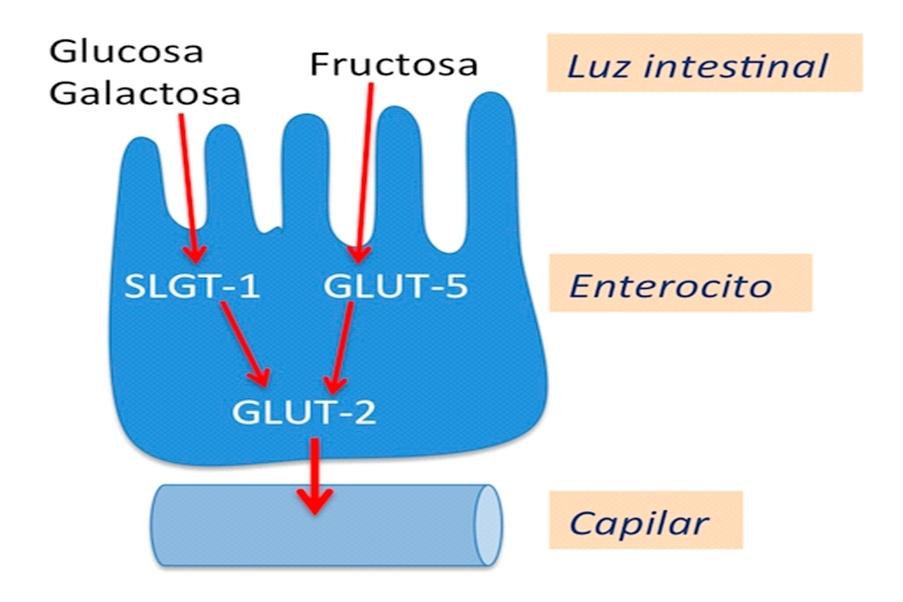 Ilustración de un enterocito (célula intestinal)