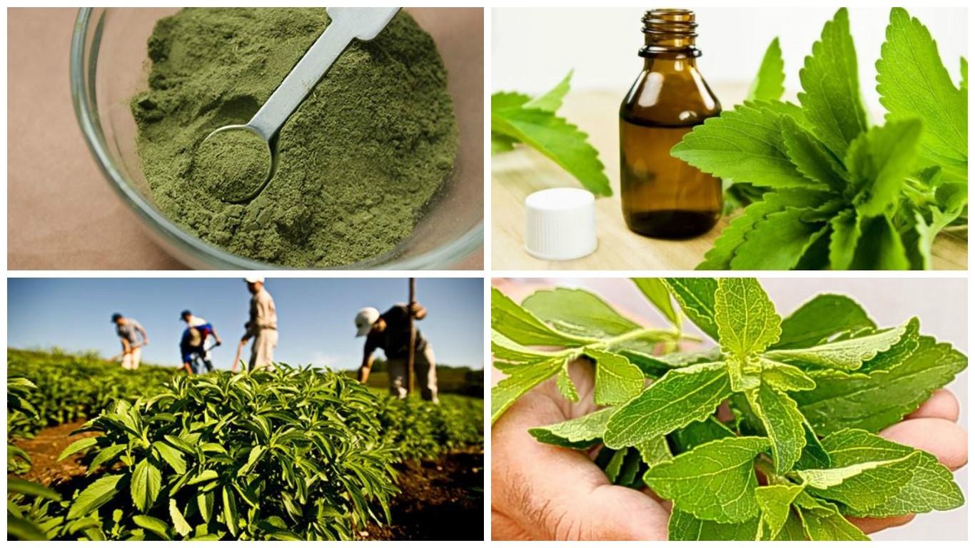 Pero... ¿realmente la Stevia puede ofrecer tantos beneficios?
