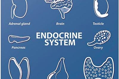 Las diferentes partes del cuerpo que segregan hormonas
