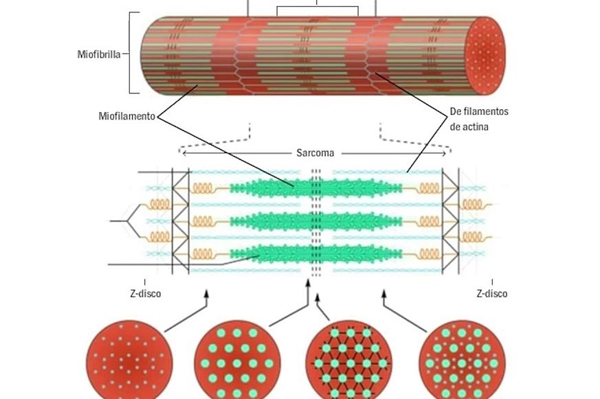 Las miofibrillas de las fibras musculares