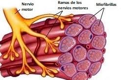 Los músculos están formados por unidades motoras