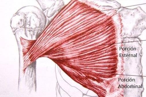 Músculos de los pectorales