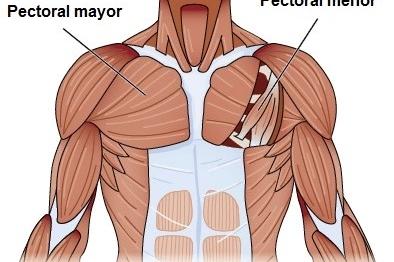 El pectoral tiene dos músculos, el pectoral mayor y  el pectoral menor
