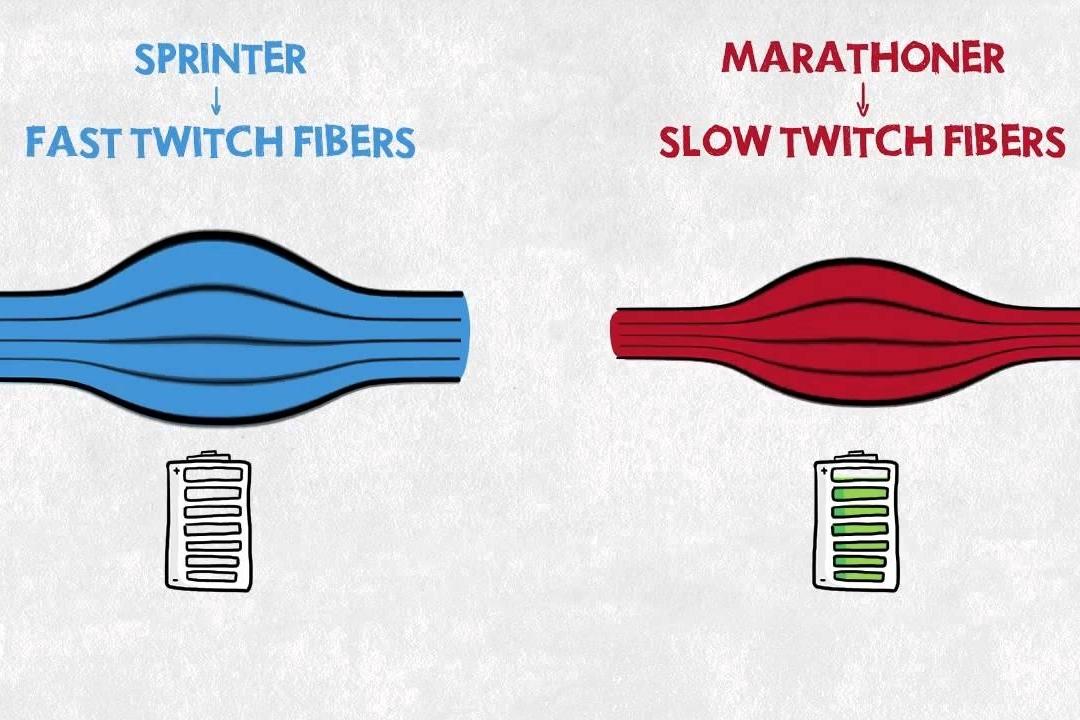 ¿Qué fibras musculares consumen oxígeno?