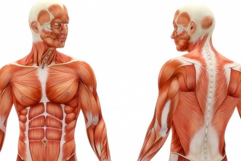 ¿Qué músculos que forman el core?