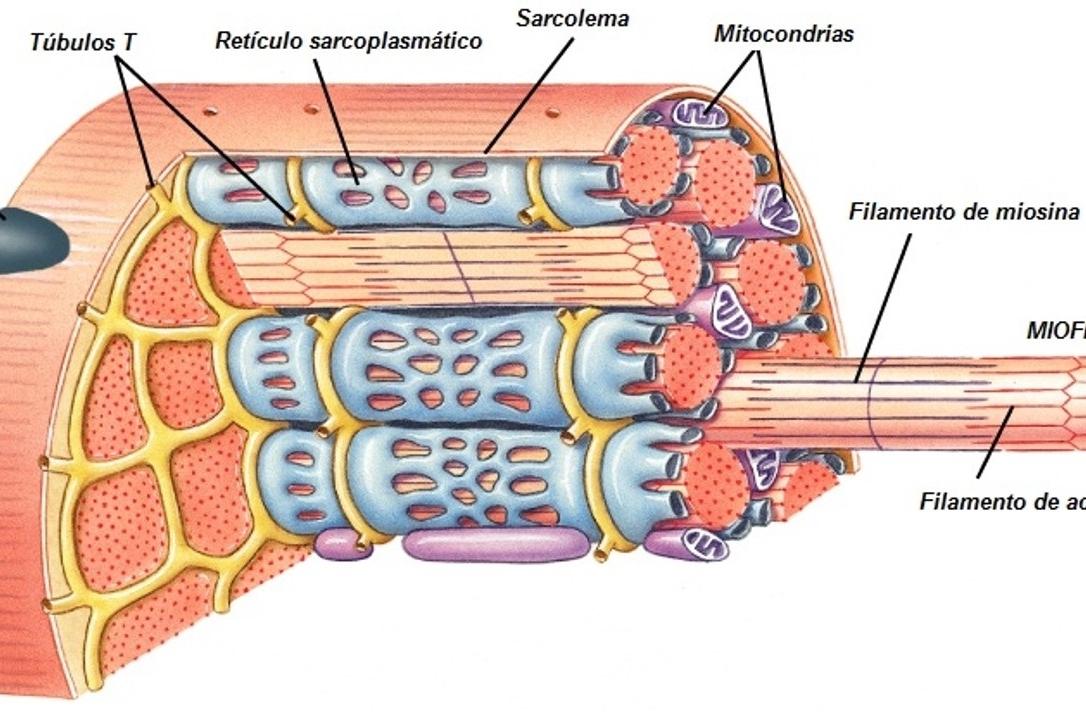 Qué son las fibras musculares