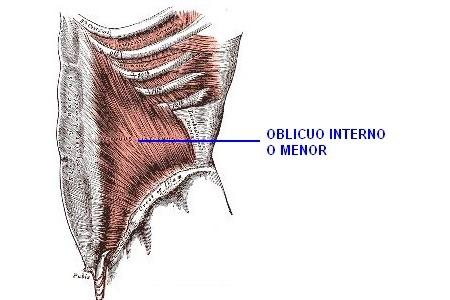 Sistema Abdominal - Obliquo interno o menor del abdomen