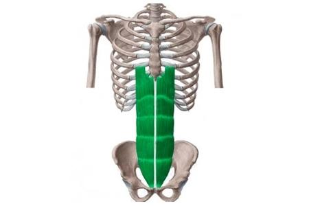 Sistema Abdominal - Recto del abdomen